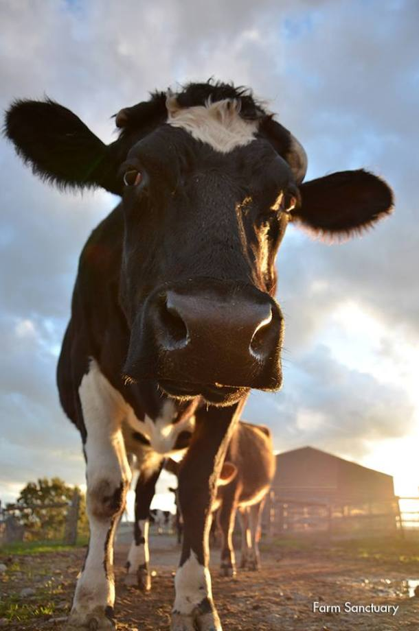cow photo VS