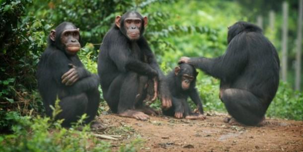 chimps-700x352