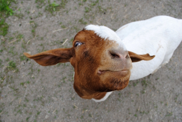 Farm Sanctuary aims to end the abuse and suffering of farm animals