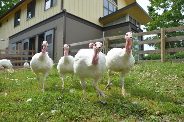 The Walk for Farm Animals benefits Animal Sanctuary